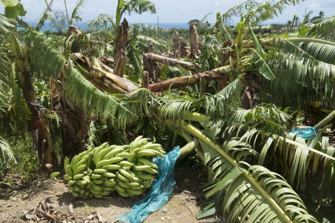 Bananeraie dévastée par l'ouragan Maria, à Capesterre-Belle-Eau, en Guadeloupe, le 22 septembre 2017.