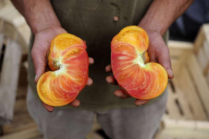 Tomates bio chez Gwénolé LEROY, agriculteur à Plouescat, dans le Finistère.