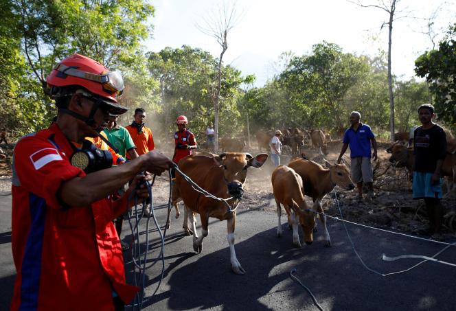 Des équipes de secours préparent l'évacuation du bétail près de Kubu, à Bali, alors que le volcan Agung menace d'entrer en éruption, le 27 septembre.