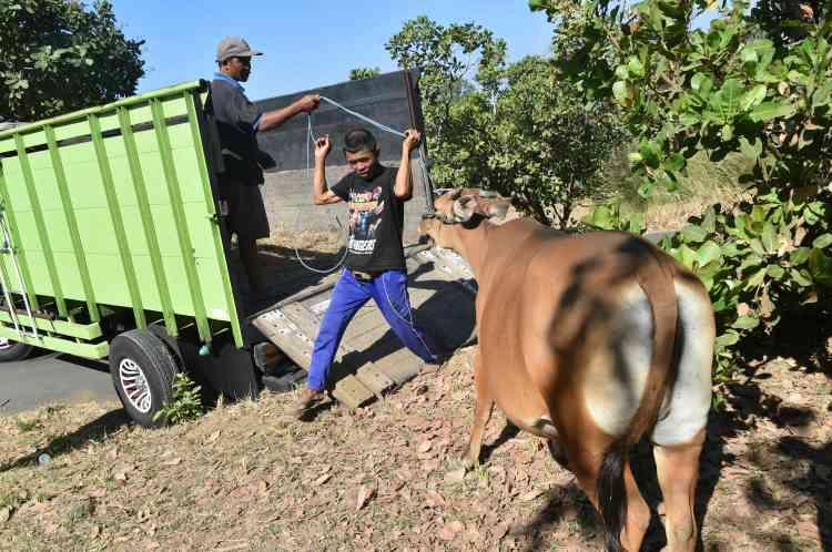 Des villageois, qui vivent sur les pentes du volcan, évacuent leur bétail.