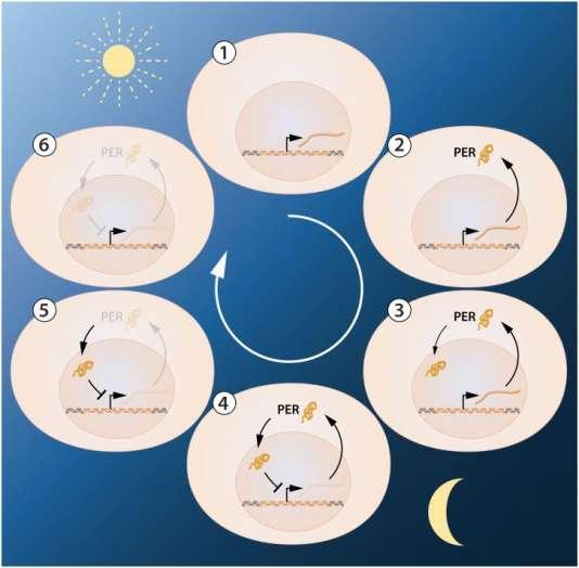 Schéma illustrant la régulation au cours de la journée du gène Periode impliqué dans le fonctionnement d'une horloge biologique responsable de cycles biologiques fonctionnant sur 24 heures.