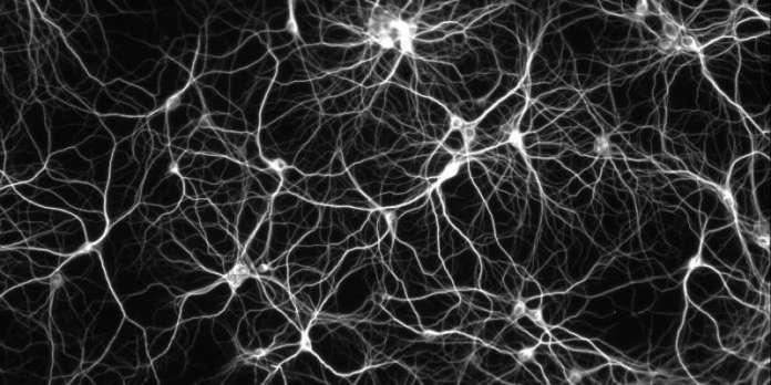 Les neurones se musclent aussi