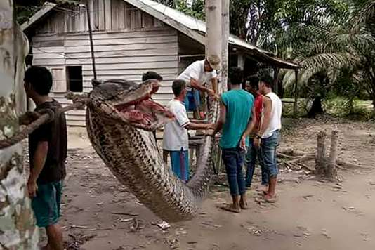 Photo du python gigantesque qui avait attaquéRobert Nababan.