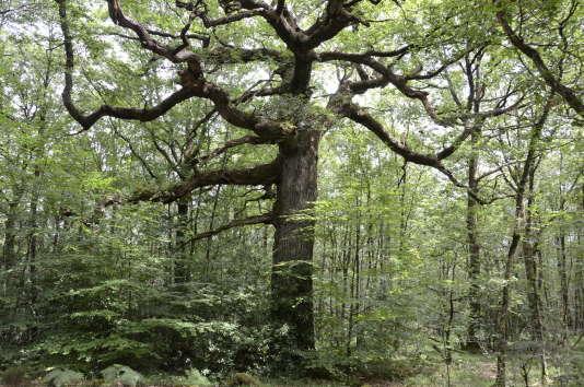Le chêne des Hindrés, dans la forêt de Brocéliande, en Ille-et-Vilaine