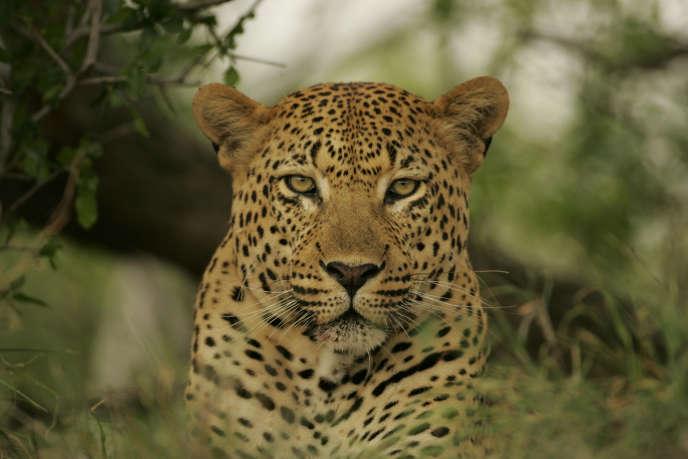 Un léopard dont l'ADN a été séquencé pour le comparer à celui d'autres félins.