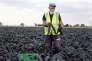 Un travailleur d'Europe de l'Est récolte des choux noirs dans un champ du district de South Holland (Angleterre), en août 2016.