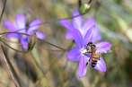 Une abeille pollinise une fleur de l'espèce en danger Brodiaea sur les collines de Glendora (Californie) le 12 mai.