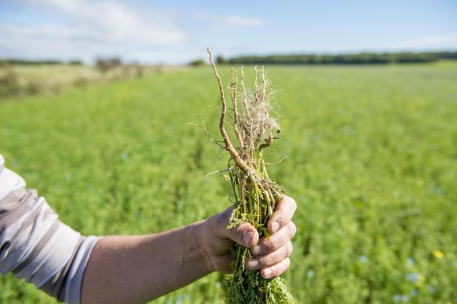 Un agriculteur bio dans le Loiret, Olivier Chaloche, n'utilise pas de glyphosate dans un champ où il a semé différentes plantes en interculture, bénéfique notamment pour le travail des racines dans le sol.