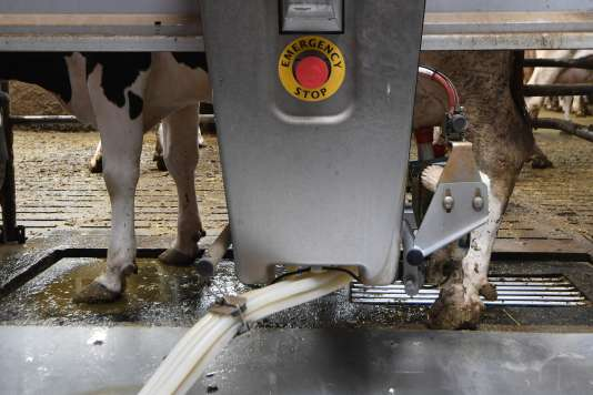 Un robot trait une vache dans une ferme automatisée à Pleudihen-sur-Rance, dans l'ouest de la France, le 11 septembre.