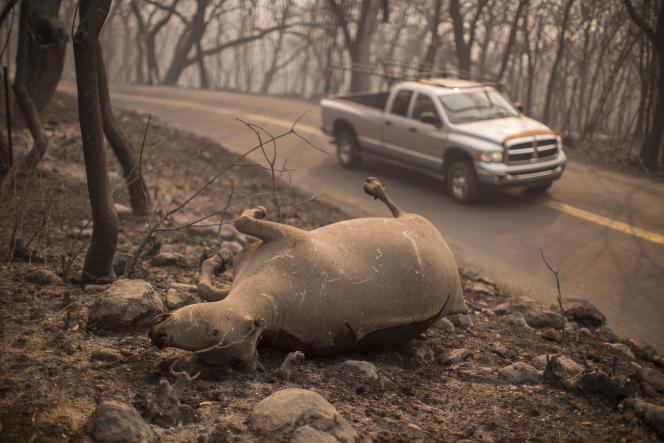 Le cadavre d'une vache lors d'un incendie près de Napa, en Californie, en 2017.