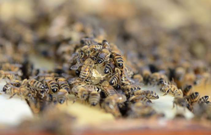 Le taux de mortalité atteint jusqu'à 80 % dans certaines ruches d'Europe.