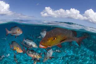 Les vivaneaux à deux taches font partie des superprédateurs d'Aldabra et leurs jolies dents sont là pour le prouver. Quand la marée haute envahit l'immense lagon de cet atoll des Seychelles, les vivaneaux se précipitent dans le chenal, avides de capturer la masse dérivante des invertébrés et des petits poissons.
