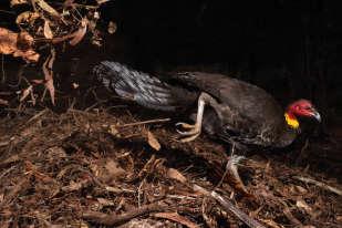 Quand la matière organique du « four» ( le nid du talégalle de Latham ) entre en décomposition, la chaleur s'élève. Le mâle vérifie régulièrement à l'aide de capteurs sensoriels situés dans son bec que les 33 °C nécessaires à l'incubation des œufs sont bien atteints. Sur cette image, on le voit ajouter des matériaux pour élever la température, et si celle-ci monte trop, il en enlèvera.