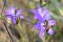 (FILES) This file photo taken on May 12, 2017 shows a honey bee pollinating the Brodiaea plant in the hills above Glendora, California. Two insecticides containing 'a new neonicotinoid' were authorised in France, which will 'undermine' the ban of neonicotinoid pesticides, which are harmful to bees, scheduled in September 2018. according to the French National Union of apiculture. / AFP / FREDERIC J. BROWN
