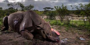 Ce rhinocéros noir est mort dans le parc africain d'Hluhluwe Imfolozi moins de huit heures avant que la scène ne soit immortalisée. Des braconniers lui ont tendu une embuscade à un point d'eau et l'ont abattu à l'aide d'un fusil muni d'un silencieux. Autrefois l'espèce de rhinocéros la plus nombreuse, le rhinocéros noir est aujourd'hui en danger critique d'extinction, moins de 4 000 individus survivent encore dans la nature.