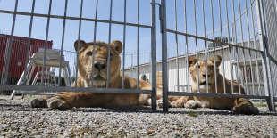 Lions dressés pour des spectacles de cirque, dans le Lot, en 2012.