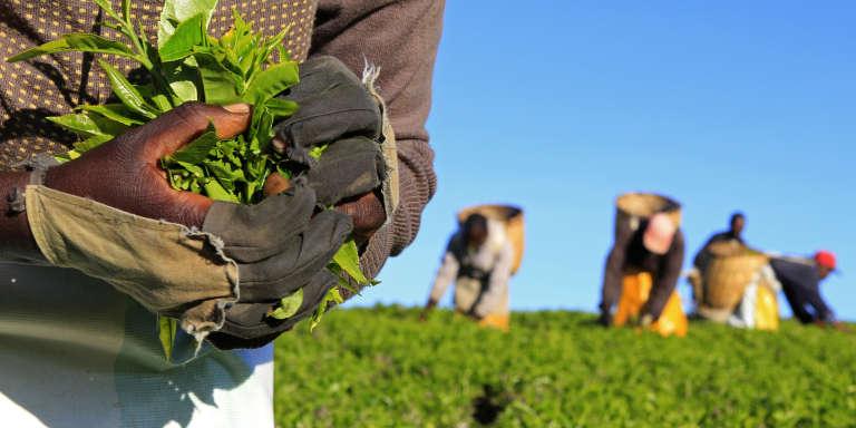 Récolte dans un champ de théiers, à Nandi Hills, à l'ouest de Nairobi, au Kenya, en novembre 2014.