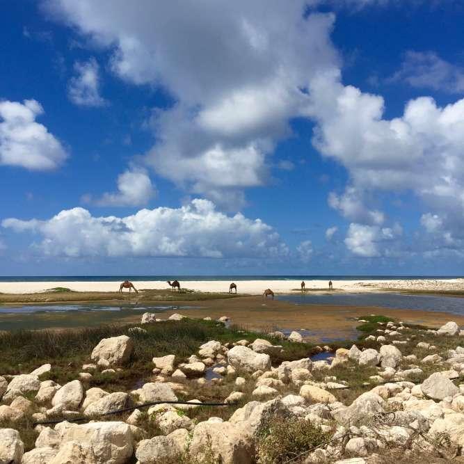 Dans le Dhofar, ce troupeau de dromadaires est laissé libre sur la plage.