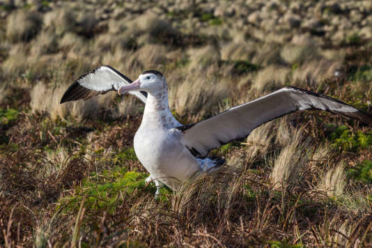 Un albatros des Antipodes, vertébré insulaire menacé.