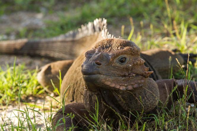 Un iguane de Mona, un vertébré insulaire très menacé.