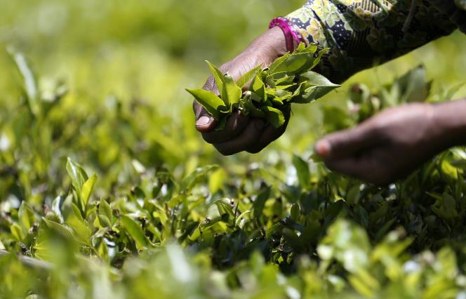Une récolte de thé au Sri Lanka, en octobre 2017.
