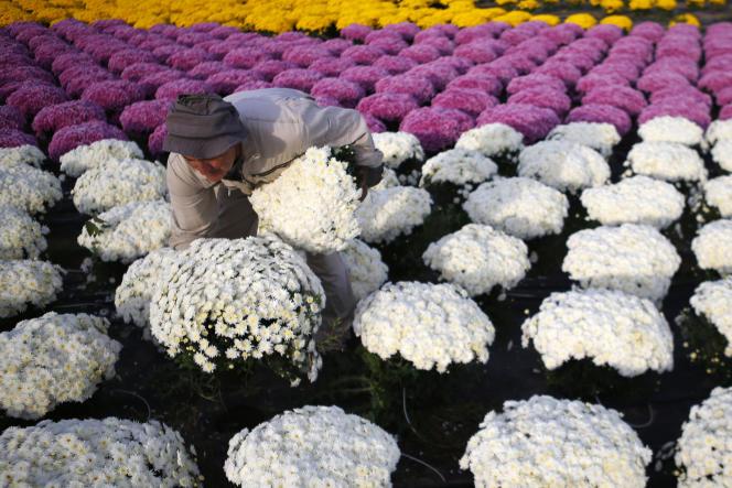 Un producteur de chrysanthèmes dans son champ à Ajaccio, le 26 octobre.