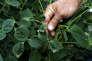 Un agriculteur montre des feuilles de soja endommagées par la dérive d'un épandage de pesticide chez un agriculteur voisin.