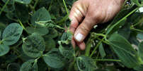 FILE PHOTO: John Weiss looks over his crop of soybeans, which he had reported to the state board for showing signs of damage due to the drifting of pesticide Dicamba, at his farm in Dell, Arkansas, U.S. July 25, 2017. Picture taken July 25, 2017. REUTERS/Karen Pulfer Focht/File Photo