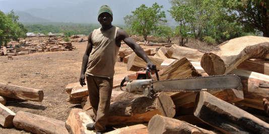 Un coupeur de kosso, le bois de rose ouest-africain, au Nigeria.