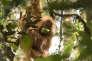 L'orang-outan Pongo tapanuliensis, sur l'île de Sumatra.