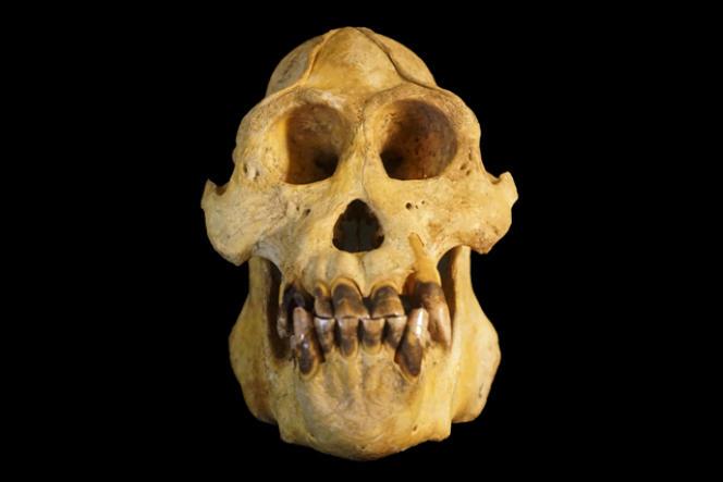 Crâne de Pongo tapanuliensis, la troisième espèce d'orang-outan identifiée.