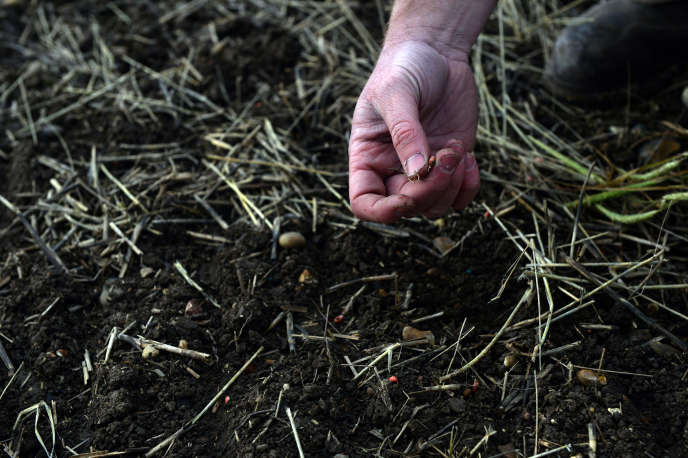 Un agriculteur britannique tient un grain d'orge semé pour montrer l'impact de l'usage du glyphosate dans sa ferme, à Brentwood, ennovembre.