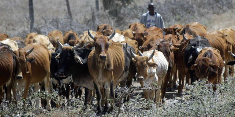 Un Masai conduit des vaches dans le comté de Kajiado, au Kenya, près de la frontière avec la Tanzanie, en 2006.