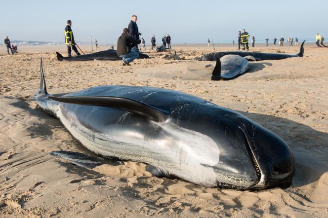 Dix baleines-pilotes échouées sur une plage de Calais (Pas-de-Calais) en 2015.