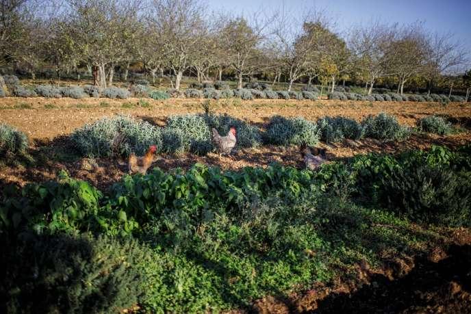 Dans son verger de Villeneuve-sur-Vère, dans le Tarn, Laurent Cazottes mêle arbres fruitiers et plantes aromatiques.