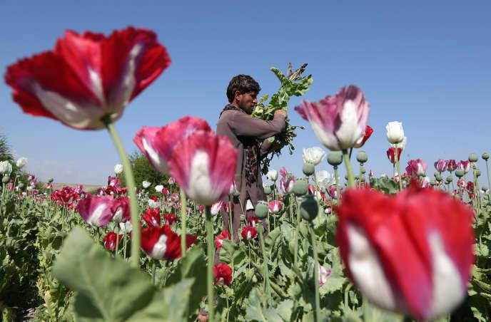 Un agriculteur afghan, dans un champ de pavot, dans le district of Jalalabad, à l'est de Kaboul, en avril 2014.