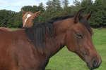 Des chevaux se reposent paisiblement dans un pré, dans le ranch normand de Guy Duponchel, sélectionneur français de reining, l'équitation western.