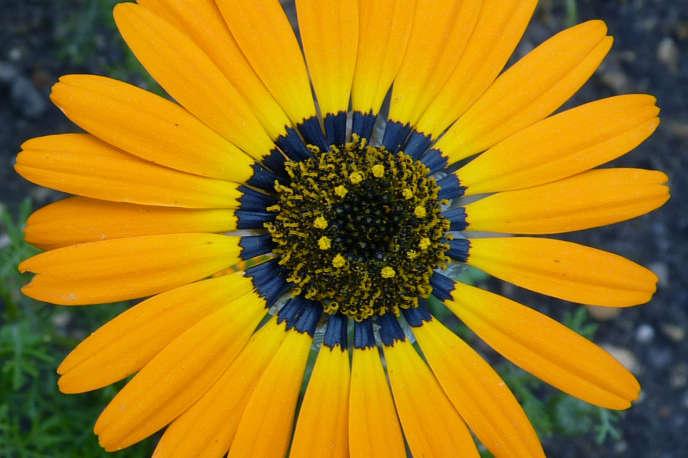«Ursinia speciosa«. La base des pétales contient un pigment sombre qui apparaît bleu, une «couleur structurelle» qui attire les pollinisateurs.