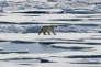 Un ours polaire se promène sur la glace flottante dans le détroit de Victoria situé dans l'archipel arctique canadien.