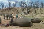 Des éléphants morts, au Zimbabwe, le 26 octobre 2015.