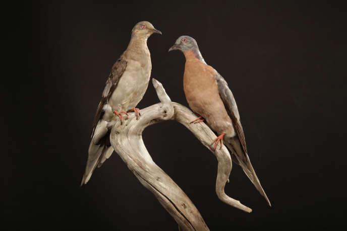 Tourtes voyageuses - femelle et mâle - naturalisées de la collection du Musée royal de l'Ontario.