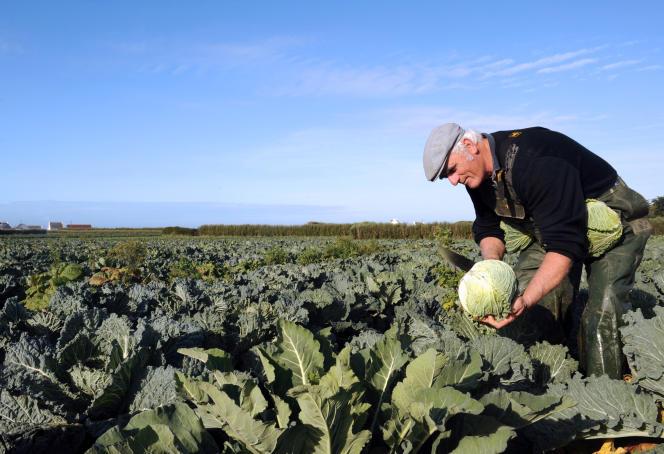 Un champ de choux en Bretagne, cultivé selon le cahier des charges de l'agriculture biologique.