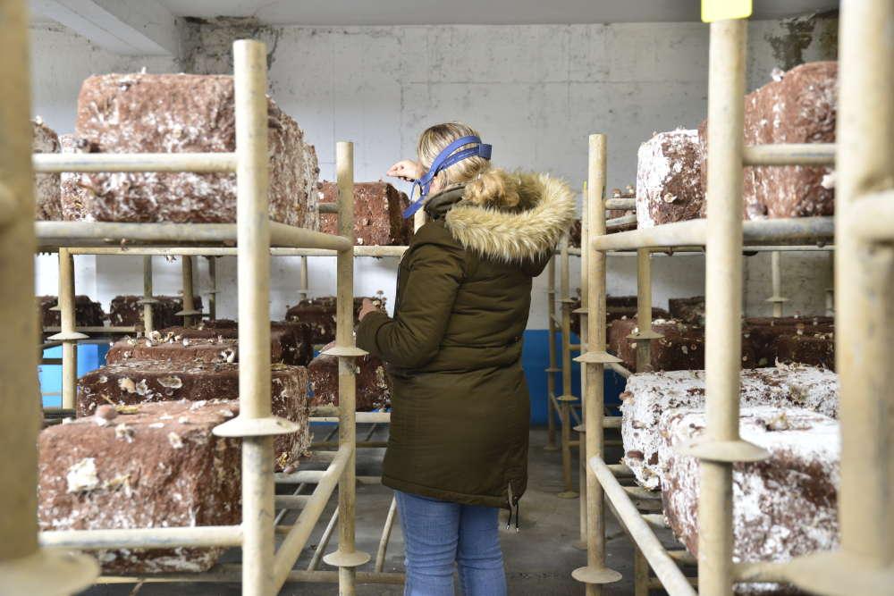 Une des employées termine la cueillette des champignons, tous vendus en circuits courts dans le nord de Paris.