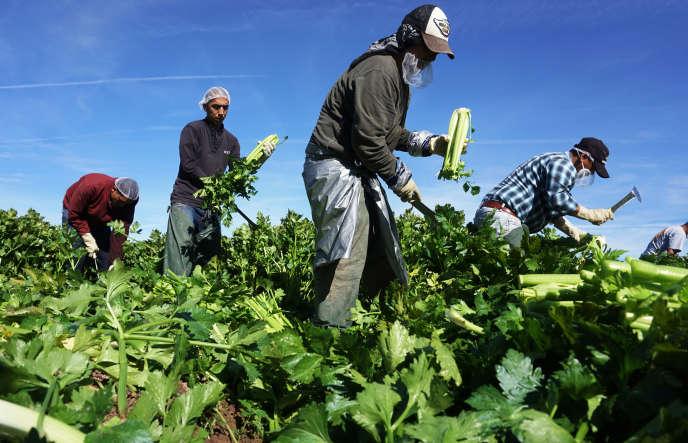 Récolte de céleri à Browley (Californie) en janvier.