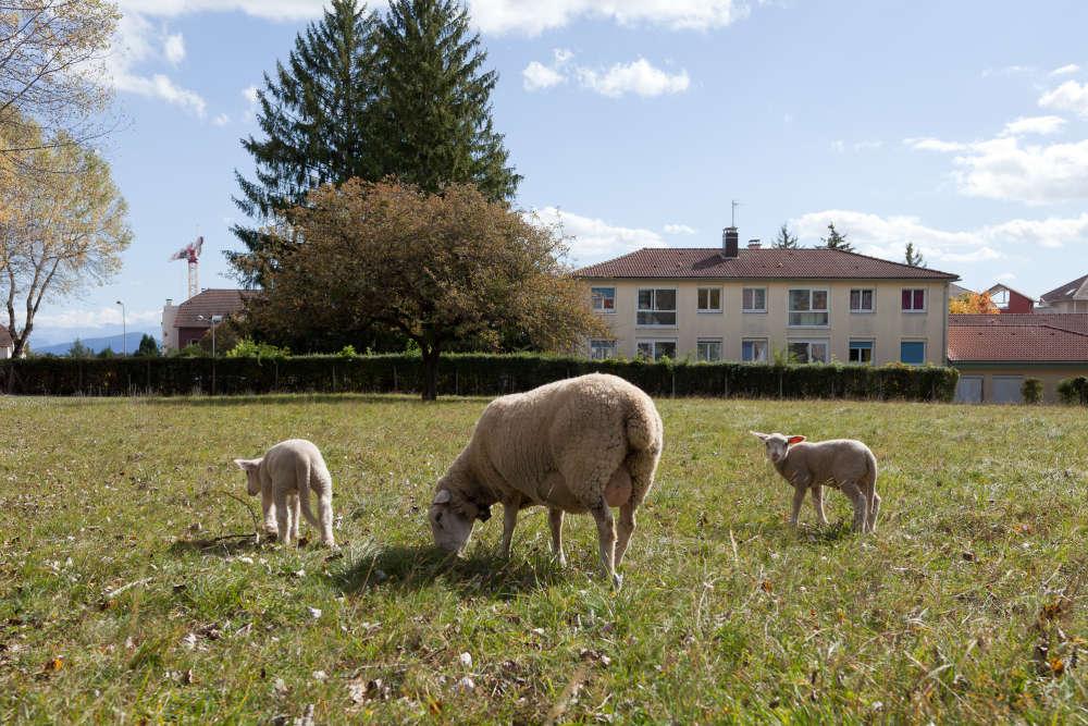 Des propriétaires ont choisi l'éco-pâturage, en plein centre de Saint-Genis-Pouilly (Ain).