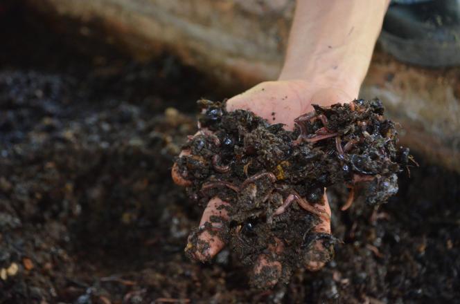 Après une phase de digestion, les vers de terre rejettent une matière dépourvue d'odeur, de la consistance d'un terreau, le lombricompost.