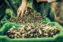 Les olives sont d'abord cueillies presque entièrement vertes.