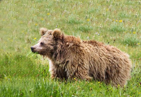 Ours brun de l'Himalaya, dans le parc national Deosai (Pakistan). Des échantillons attribués au Yéti provenaient de cette sous-espèce d'ursidés.
