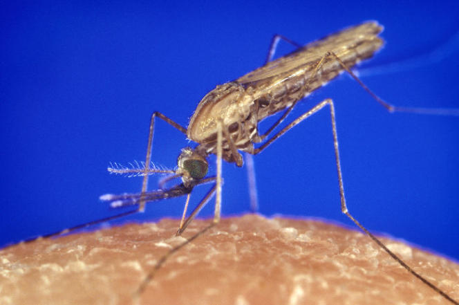Un «Anopheles gambiae» (une des espèces d'anophèles, vecteur du parasite responsable du paludisme).