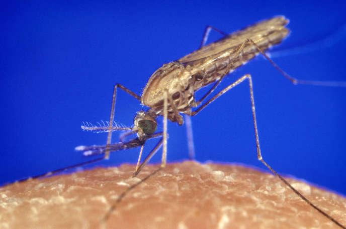 Anopheles gambiae est un des moustiques vecteurs du parasite responsable du paludisme.